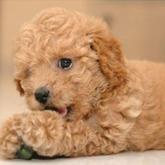 Allevamento cuccioli cane barboncino bianco nero albicocca for Barboncino nano toy