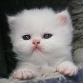 Allevamento Cuccioli Gatto Persiano Exotic Shorthair Grandelunait