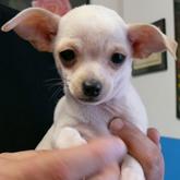 Allevamento cane razze cuccioli for Tequila e bonetti cane razza